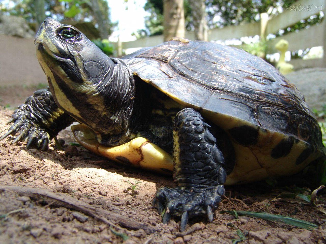 Testudines o chelonia tartaruga for Tartarughe di mare domestiche