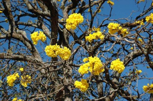 Primavera - Flores do Cerrado
