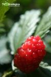 Amora - fruta deliciosa