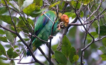 papagaio de cabeça laranja exotic bird